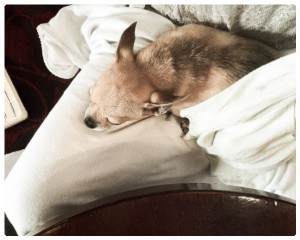 ...but unable to keep her eyes open for long. Oh to be a chihuahua